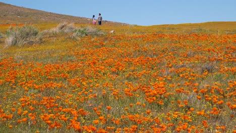 Una-Pareja-Se-Encuentra-En-Un-Enorme-Campo-De-Flores-Silvestres-De-Amapola-De-California