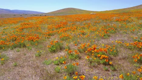 A-low-aerial-over-a-beautiful-orange-field-of-California-poppy-wildflowers