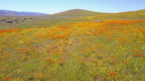 A-low-aerial-over-a-beautiful-orange-field-of-California-poppy-wildflowers-1