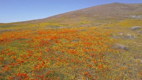 Una-Antena-Baja-Sobre-Un-Hermoso-Campo-Naranja-De-Flores-Silvestres-De-Amapola-De-California-2