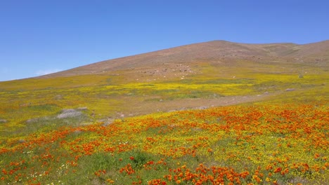 A-low-aerial-over-a-beautiful-orange-field-of-California-poppy-wildflowers-3
