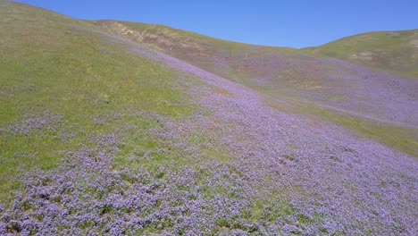 A-beautiful-aerial-over-vast-fields-of-California-lupine