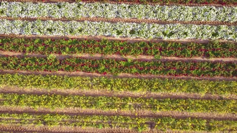 A-fast-rising-aerial-shot-over-a-giant-American-flag-made-of-flowers