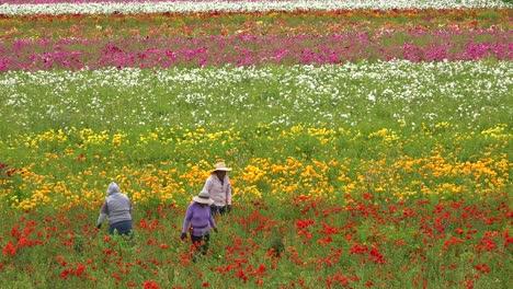 Mexikanische-Landarbeiter-Arbeiten-In-Kommerziellen-Blumenfeldern-1