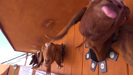 Goats-stick-their-heads-through-a-hole-to-get-food-at-a-fair-or-carnival
