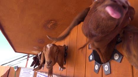 Las-Cabras-Sacan-La-Cabeza-Por-Un-Agujero-Para-Conseguir-Comida-En-Una-Feria-O-Carnaval