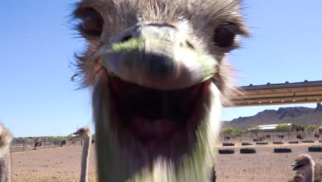 An-ostrich-at-an-ostrich-farm-stare-and-pecks-at-the-camera