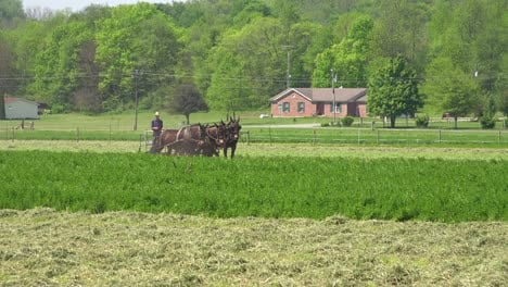 Amish-farmers-use-traditional-horses-and-methods-to-plow-their-fields