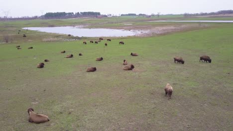 An-aerial-over-buffalo-or-bison-grazing-on-the-American-plains