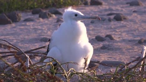 A-juvenile-booby-bird-sits-on-a-nest-in-the-Galapagos-Islands-Ecuador