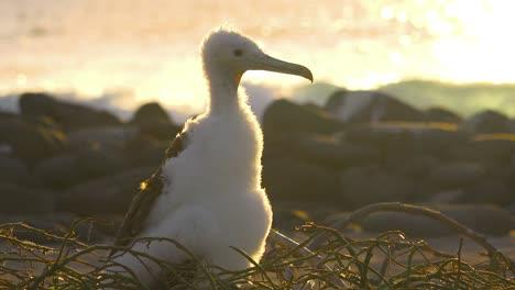 Un-Pájaro-Piquero-Juvenil-Se-Asienta-En-Un-Nido-Junto-Al-Océano-En-Las-Islas-Galápagos-Ecuador