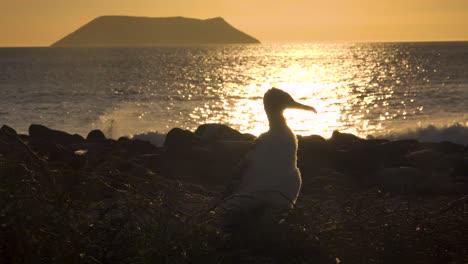 A-juvenile-booby-bird-sits-on-a-nest-by-the-ocean-in-the-Galapagos-Islands-Ecuador-1