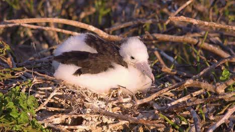 A-newborn-juvenile-booby-bird-sits-on-a-nest-by-the-ocean-in-the-Galapagos-Islands-Ecuador