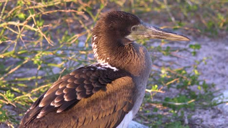 A-juvenile-Nazca-booby-bird-on-the-Galapagos-Islands-Ecuador