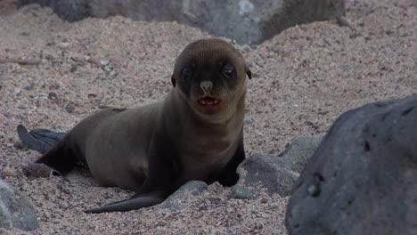 Ein-Seelöwenbaby-Sucht-Auf-Einer-Insel-Der-Galapagos-Inseln-Nach-Seiner-Mutter