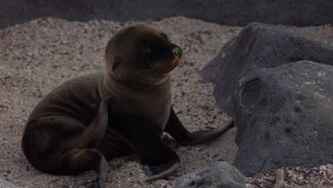 Ein-Seelöwenbaby-Kratzt-Sich-Auf-Einer-Insel-Auf-Den-Galapagosinseln