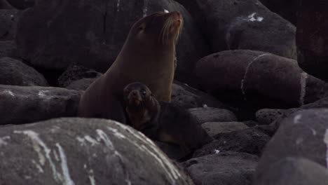 A-sea-lion-mother-guards-her-curious-baby-pup-on-an-island-in-the-Galapagos