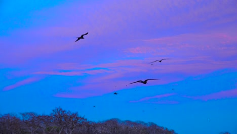 Frigate-birds-fly-low-over-the-Galapagos-Islands-at-sunset