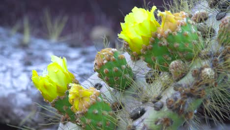 Prickly-pear-cactus-plants-grow-on-the-Galapagos-Islands-Ecuador