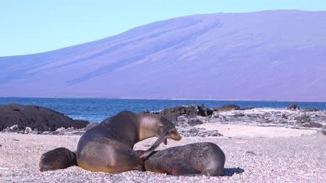Sea-lions-fight-on-a-beach-in-the-Galapagos-Islands-Ecuador