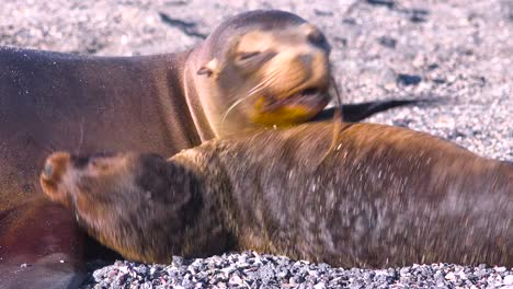 Sea-lions-fight-on-a-beach-in-the-Galapagos-Islands-Ecuador-2