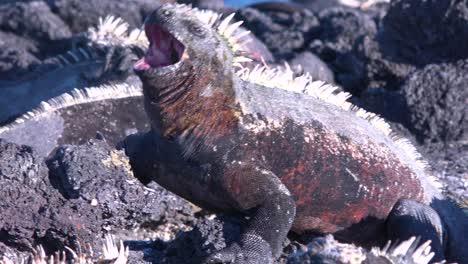 Las-Iguanas-Marinas-Toman-El-Sol-En-Las-Islas-Gal-pagos-Ecuador