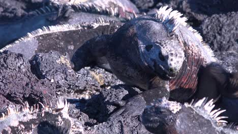 Marine-iguanas-bask-in-the-sun-in-the-Galapagos-Islands-Ecuador-1