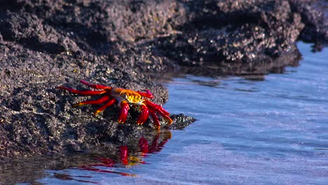 Bright-red-Sally-Lightfoot-crab-moving-across-rocks-in-the-Galapagos-Islands-Ecuador