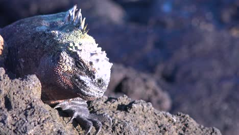 Extreme-close-up-of-marine-iguana-on-rock-in-Galapagos-Islands-Ecuador