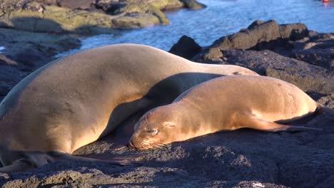 Los-Leones-Marinos-Duermen-En-Una-Playa-En-Las-Islas-Galápagos-Ecuador