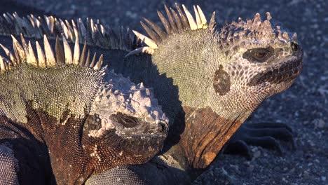 Las-Iguanas-Marinas-Toman-El-Sol-En-Las-Islas-Galápagos-Ecuador-2