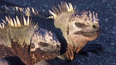 Marine-iguanas-bask-in-the-sun-in-the-Galapagos-Islands-Ecuador-3