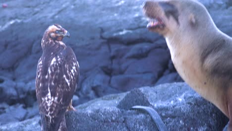 A-sea-lion-and-a-hawk-stand-off-over-a-dead-iguana-in-the-Galapagos-Islands