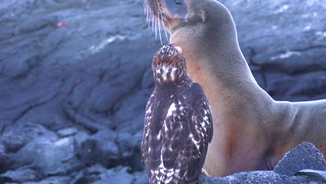 A-sea-lion-and-a-hawk-stand-off-over-a-dead-iguana-in-the-Galapagos-Islands-1
