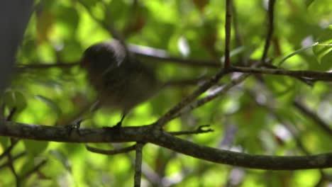 Un-Pinzón-De-Galápagos-Se-Sienta-En-Un-árbol-El-Pájaro-Que-Inspiró-La-Teoría-De-La-Evolución-De-Darwin
