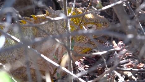 Una-Iguana-Terrestre-Se-Asoma-A-Través-De-La-Maleza-En-Las-Islas-Galápagos-