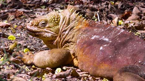 Eine-Landleguan-Rieseneidechse-Auf-Den-Galapagos-Inseln-3