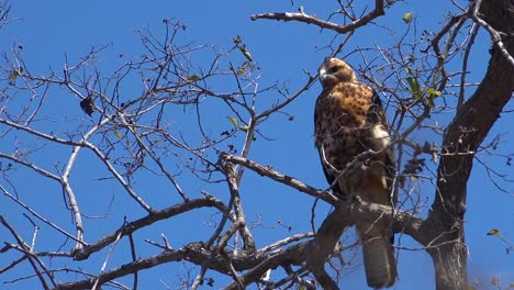 A-Galapagos-hawk-sits-in-a-tree-hunting-for-prey