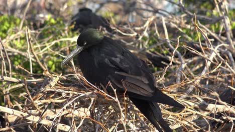 A-magnificent-or-great-frigatebird-sits-on-its-nest-in-the-Galapagos-Islands
