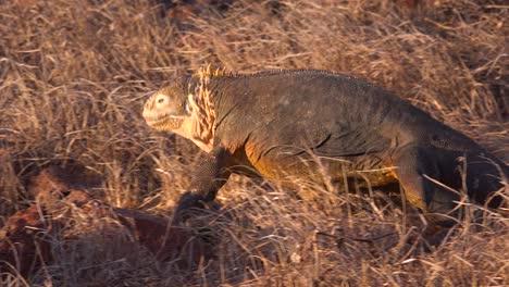 Una-Iguana-Terrestre-Lagarto-Gigante-Camina-Sobre-Las-Islas-Galápagos-
