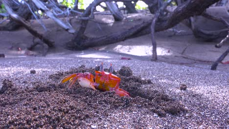 Bright-red-Sally-Lightfoot-crab-moves-sand-from-its-burrow-and-rubs-its-eyes