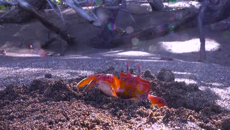 Bright-red-Sally-Lightfoot-crab-moves-sand-from-its-burrow-on-a-beach-in-the-Galapagos