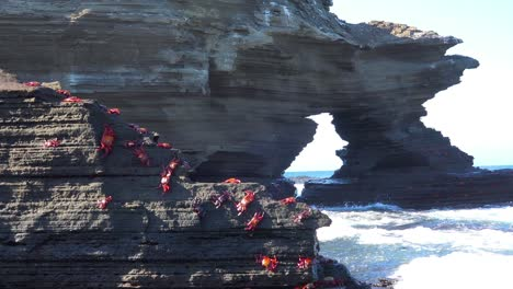 Bright-red-Sally-Lightfoot-crabs-cling-to-a-rock-on-a-Galapagos-shore