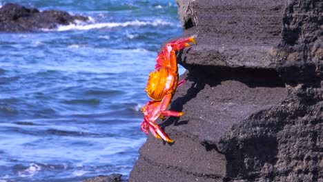 Bright-red-Sally-Lightfoot-crab-climbs-a-rock-in-the-Galapagos-Islands