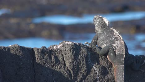 A-marine-iguana-looks-out-over-the-ocean-in-the-Galapagos-Islands