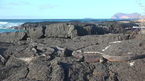 Marine-iguanas-lay-on-lava-rocks-in-the-Galapagos-Islands