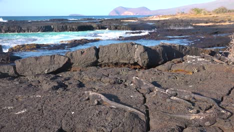 Marine-iguanas-lay-on-lava-rocks-in-the-Galapagos-Islands-1