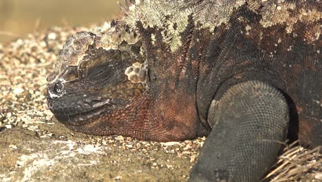 Marine-iguanas-lay-on-lava-rocks-in-the-Galapagos-Islands-2