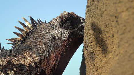 A-marine-iguana-kisses-rocks-in-the-Galapagos-Islands