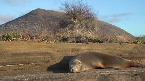 Un-León-Marino-Duerme-Frente-A-Un-Volcán-En-Las-Islas-Galápagos-